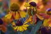 Zen gaRden (mariola aga) Tags: chicagobotanicgarden glencoe garden plants flowers closeup bokeh dof coth alittlebeauty coth5
