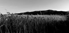 Góry Sowie B&W. (andrzejskałuba) Tags: polska poland pieszyce dolnyśląsk silesia sudety górysowie mountainsofowls widok view monochrome bw góry natura nature zboże niebo sky