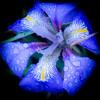 Lovely little iris in the rain (judy dean) Tags: 2018 cambridge judydean february naturethroughthelens