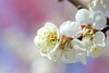 ume (* Yumi *) Tags: ume plum 梅 flower 府中郷土の森
