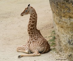 Girafon (Passion Animaux & Photos) Tags: girafe girafon giraffe cub giraffa camelopardalis bioparc douelafontaine