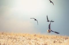 Besieged (Tracey Rennie) Tags: hedroppeditintheend baldeagle eagle alberta ravens cochrane snow baldie hss