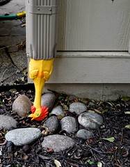 The Day a Rubber Chicken Came Down the Downspout (ricko) Tags: downspout rubberchicken toy rocks gutter werehere 70365 2018