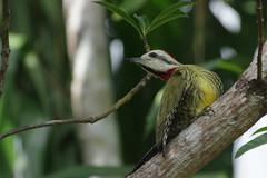 Pic à sourcil noirs - carpintero Antillano (amarie.navratil) Tags: oiseau cuba pic carpintero
