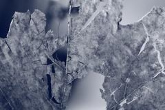 partial incomplete (Pascal Volk) Tags: foliage follaje laub hoja leaf blatt monochrome blue blau azul pattern struktur texture estructura textura macro makro 105mm closeup nahaufnahme macrodreams bokeh dof depthoffield canoneos6d sigma105mmf28exdgoshsmmacro canonspeedlite430exiiirt canonspeedlite600exiirt canonspeedlitetransmitterste3rt manfrotto mt055xpro3 468mgrc2 sooc