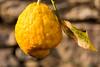 cedro (kyry2010) Tags: cedro cedar cèdre agrumi agrumes macro close up giallo yellow