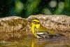 Townsend's Warbler (Bob Gunderson) Tags: birds california fortmason northerncalifornia sanfrancisco setophagatownsendi townsendswarbler warblers woodwarblers