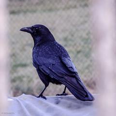 Don't Move! (BGDL) Tags: lightroomcc nikond7000 bgdl odc afsnikkor18105mm13 crow fence birdsofafeather
