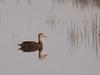 Mottled Duck male 20180316 (Kenneth Cole Schneider) Tags: florida miramar westmiramarwca