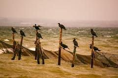 Warten auf Fisch! (samba_oleg (no weapons in private hands)) Tags: meer dänemark kormoran netz wasser wellen see