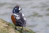 CA3I1632-Harlequin Duck (tfells) Tags: harlequinduck bird nature wildlife barnegatlightstatepark newjersey duck waterfowl