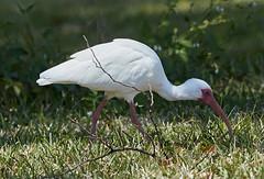 03-19-18-0008349 (Lake Worth) Tags: animal animals bird birds birdwatcher everglades southflorida feathers florida nature outdoor outdoors waterbirds wetlands wildlife wings