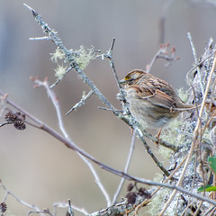 White-throated Sparrow (Cottonwood Trail, SC) (hmthelords) Tags: cottonwoodtrailsc