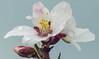 Almond Flowers (G.Sartori.510) Tags: pentaxk5 carlzeissplanartzk100mmf28 fioridimandorlo almondflowers