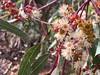 2018.03.03 - Eucalyptus citriodora (JBYoder) Tags: angiosperm california dicot eucalyptus eucalyptuscitriodora flora malibu myrtaceae leocarillostatepark