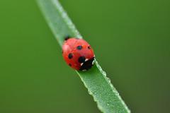 While waiting the real Spring weather (natureloving) Tags: coccinelle ladybug nature insect macro dof spring printemps natureloving nikon d90 afsvrmicronikkor105mmf28gifed animalplanet