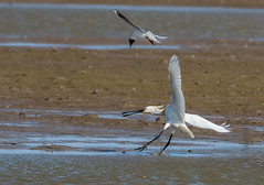 DSC_3483 (Adrian Royle) Tags: lincolnshire framptonmarsh rspb nature wildlife bird heron spoonbill nikon