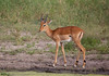 Impala (ashockenberry) Tags: impala nature naturephotography wildlife wildlifephotography wild antlers cervid ungulate herbivore tarangire national park habitat wilderness ashleyhockenberryphotography red grassland tanzania africa african animal