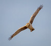 Northern Harrier (tresed47) Tags: 2018 201803mar 20180312bombayhooknwr birds bombayhook canon7d content delaware folder harrier march northernharrier peterscamera petersphotos places season takenby us winter