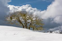 Winter Solace (Bob Bowman Photography) Tags: snow oak trees clouds spanishmoss california humboldtcounty
