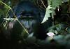gorilla into the mist (robertoburchi1) Tags: animali animals wild nature natura gorilla africa
