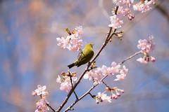 _DSC0802.jpg (plasticskin2001) Tags: mejiro sakura flower bird