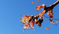 maple tree, ours, flowers (Martin LaBar) Tags: southcarolina pickenscounty maple fagaceae flower flowers acer stamens anthers