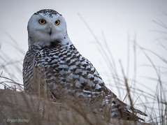 Snowy Owl (bbatley) Tags:
