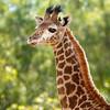Jimbashor, the Baby Giraffe (Penny Hyde) Tags: babyanimal giraffe sandiegozoo