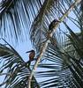 Costa Rica - Tortuguero Canals - Toucans (Stabbur's Master) Tags: cruising cruise carnivalcruiseline limoncostarica shoreexcursion cruiseexcursion limoncruiseexcursion limonshoreexcursion tortuguerocanals tortuguerocanalexcursion toucan costarica