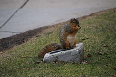 Squirrels On a Winter's Day in Ann Arbor at the University of Michigan (March 9th, 2018) (cseeman) Tags: gobluesquirrels squirrels annarbor michigan animal campus universityofmichigan umsquirrels03092018 winter eating peanut marchumsquirrel snow snowy sunny storm snowstorm art publicart angryneptunesalaciaandstrider statue bronze micheleokadoner micheleokadonerstatue squirrelsandart squirrelsandpublicart livingart