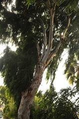 Blauer Eukalyptus (Eucalyptus globulus); Teneriffa, Valle del Guerra (2) (Chironius) Tags: spanien teneriffa spain испания españa tenerife rosids malvids myrtales myrtenartige myrtaceae myrtengewächse myrtoideae eucalypteae eukalypten eucalyptus baum bäume tree trees arbre дерево árbol arbres деревья árboles albero árvore ağaç boom träd borke rinde ladrido écorce corteccia schors кора hout bois holz wood legno madera