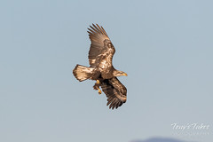 Bald Eagle fishing attempt 1 - 3 of 16