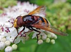 Hornissenschwebfliege (anubishubi) Tags: insekt makro zweiflügler schwebfliege hornissenschwebfliege pentaxmx1