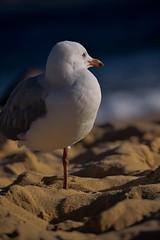 Leg Peg'ed (JaggedMagpie) Tags: seagull bird photography beach water birb feathers splash sand reflection standing beak gull birdlife wildlife nature leg legs feet sandy ocean