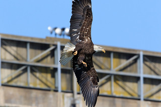 Bald Eagle at Conowingo Dam-3