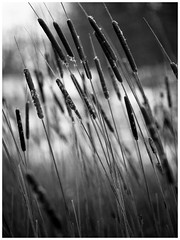 Grass. (manganlundin) Tags: grass ingared alingsås sweden nature scenery snow winter minimal minimalism olympus blackandwhite blackwhite bw monochrome