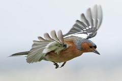 Pinson A6504597_DxO (jackez2010) Tags: ilce6500 fe100400mmf4556gmoss bif birdinflight pinsondesarbres