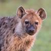 Hyena Puppy (Thomas Retterath) Tags: adventure wildlife abenteuer safari natur nature kenya africa afrika masaimara thomasretterath spottedhyaena hyaena crocutacrocuta hyäne hyaenidae raubtiere predator carnivore säugetier mammals animals tiere tüpfelhyäne hyaenapuppy