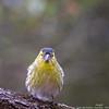 Tarin des aulnes (gilbert.calatayud) Tags: carduelisspinus eurasiansiskin fringillidés passériformes tarindesaulnes bird oiseau graulhet tarn occitanie