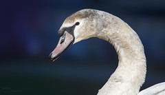 Number C831 (Paula Darwinkel) Tags: muteswan swan bird portrait animal wildlife nature bokeh blue