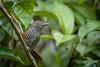 Choca-listrada (Thamnophilus palliatus) Chestnut-backed Antshrike (Eden Fontes) Tags: riodejaneiro aves chocalistrada birds jb chestnutbackedantshrike rj jbrj jardimbotânico thamnophiluspalliatus