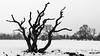 Dead (callumggibson) Tags: tree nature winter blackandwhite snow landscape outdoors branch white scenics coldtemperature season forest nonurbanscene baretree nopeople plant woodland beautyinnature weather