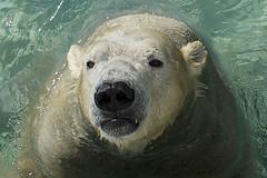 Nikita (ucumari photography) Tags: ucumariphotography polarbear ursusmaritimus oso bear animal mammal nc north carolina zoo osopolar ourspolaire oursblanc eisbär ísbjörn orsopolare полярныймедведь nikita dsc0890 march 2018 specanimal