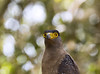 Crested Serpent Eagle (James Yates Photo) Tags: nature natur natural animal animals asia wildlife bird birds eagle serpenteagle crestedserpenteagle sun sunlight light lighting srilanka safari outdoors outdoor orange bokeh birdofprey birdwatching birdspotting birdofparadise exoticbird travel travelphotography nationalpark naturalworld natgeo vibrant canon colours closeup colourful zoom summer sigma green yellow head eyes