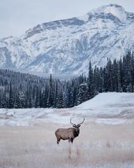 -25°f morning. Bull Elk. Banff. Alberta. The beaut ... (Tanner Wendell Stewart) Tags: ifttt 500px banff explore canada canadian elk bull travel alberta explorecanada explorealberta