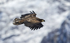 Soaring Eagle in snowy mountains (White Tailed Eagle) (Ann and Chris) Tags: avian amazing awesome bird beak close flying gorgeous gliding hunting incredible impressive majestic nature norway norge predator raptor stunning snow tailed wildlife wild eagle whitetailedeagle mountains dønna