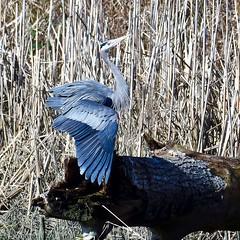 Great Blue Heron (Ardea herodias) (gabicuff1) Tags: ladner britishcolumbia canada greatblueheron ardeaherodias