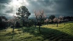 Misty morning (el vuelo del escorpión) Tags: mallorca balearic islands spain winter almond tree flower cloud morning misty