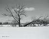 L'arbre brisé... (Argentique) / The broken tree... (Film) (Pentax_clic) Tags: janvier 2017 nikon fm tx trix microdol arbre argentique neige film nb bw robert warren vaudreuil quebec paysage champ